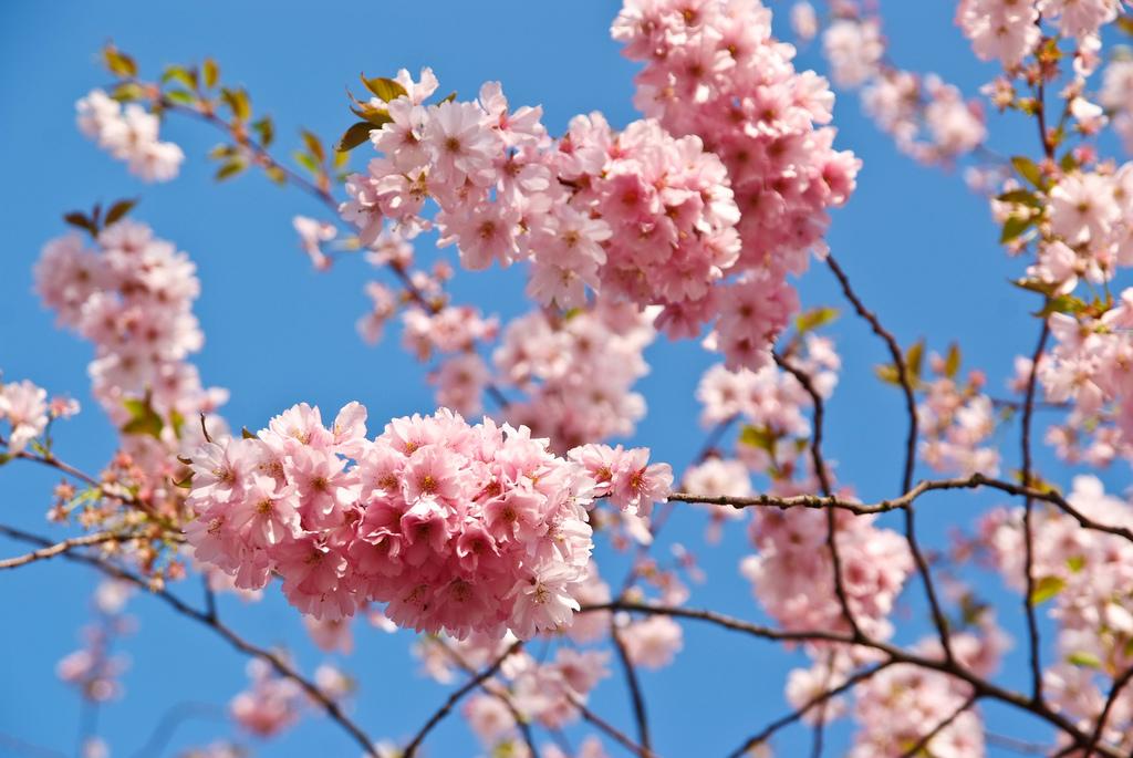 El Cherry Blouson en el Jardín Botánico de Brooklyn