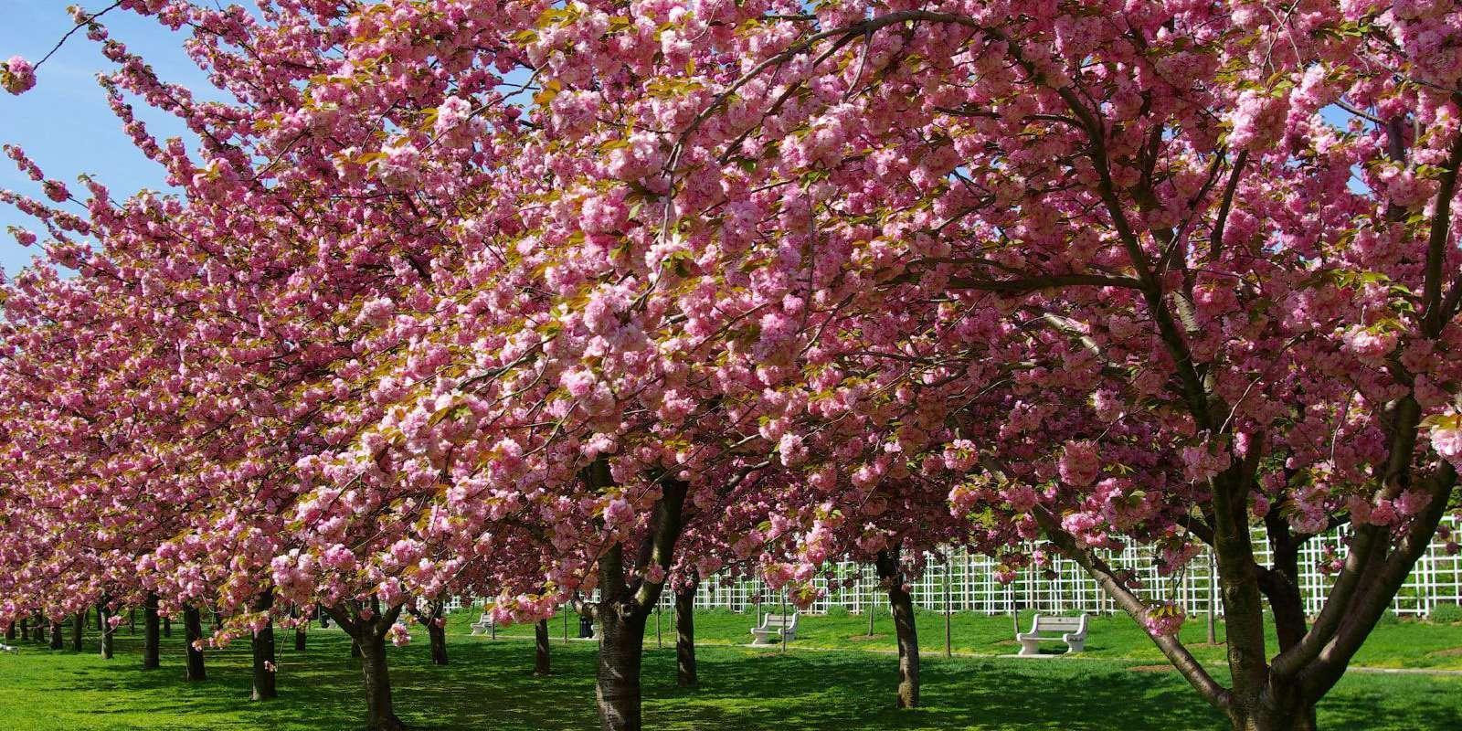 Arbol De Cerezo Japones cherry blossom, la floración del cerezo en nueva york